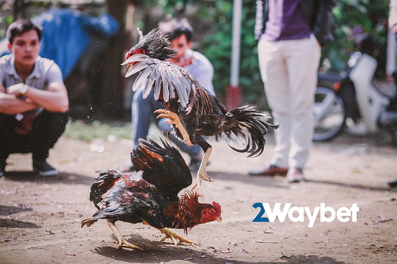 Sabong Ayam Di Filipina Bukan Sekedar Hiburan