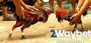 Sabung Ayam Di Filipina Beromset Miliaran Dollar