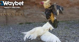 Keuntungan Bermain Sabung Ayam Online