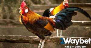 Tanda Ayam Bangkok Siap Bertarung