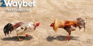 Kelebihan Ayam Tarung Aduan Di Arena