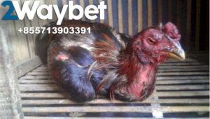 Obat Ampuh Untuk Penyakit Cacing Pada Ayam Bangkok