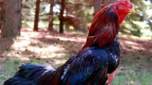 Cara Mengatasi Ayam Yang Terkena Kurap