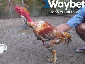Kelemahan Ayam Saigon Di Dalam Arena