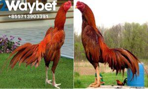 Tips Memilih Bibit Ayam Bangkok Super