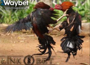 Dampak Ayam Tarung Yang Sering Dipertarungkan