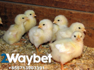 Cara Membedakan Ayam Jantan & Betina Pada Usia 1-30 Hari