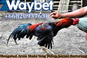 Mengatasi Ayam Muda Yang Belum Berani Bertarung