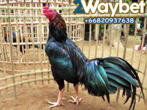 Jenis Dan Harga Ayam Tarung Jawara