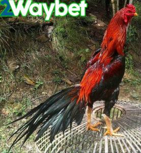 Cara Menjaga Kebugaran Ayam Bangkok