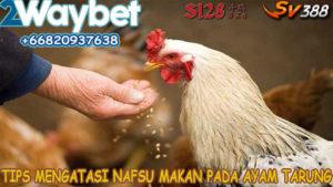 Manfaat Belut Untuk Ayam Bangkok Super