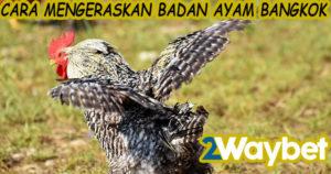Cara Membesarkan Badan Ayam Bangkok