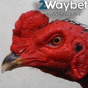 Ciri Ciri Mata Ayam Bangkok Yang Bagus