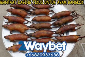 Manfaat Daging Tikus Untuk Ayam Bangkok