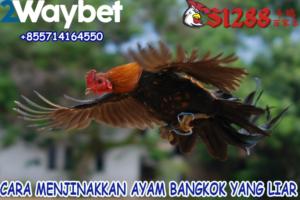 Cara Menjinakkan Ayam Bangkok Yang Liar