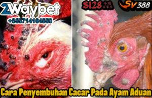 Cara Penyembuhan Cacar Pada Ayam Aduan